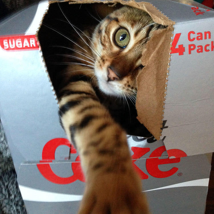 Millie the cat in a Diet Coke box