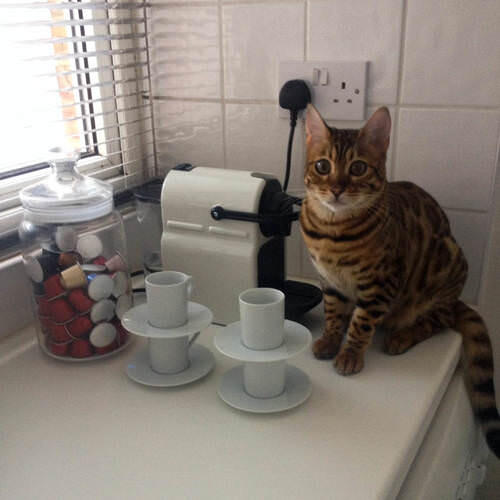 Millie the cat making coffee