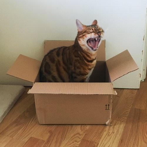 Millie the cat yelling in a box